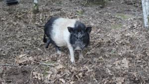 Les animaux de la ferme le cochon