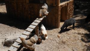 Les animaux de la ferme la poule